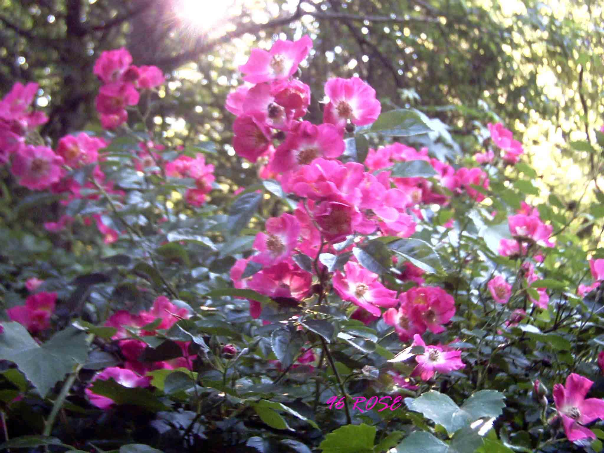 96 rose in bloom