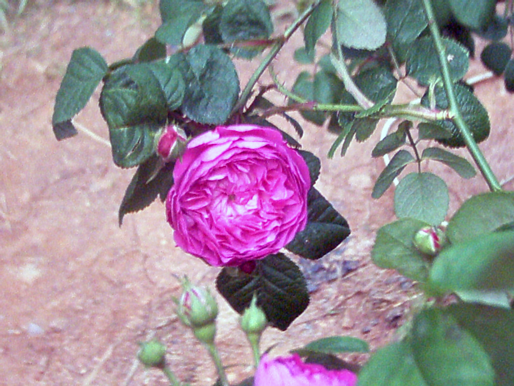 antique pink rose in bloom