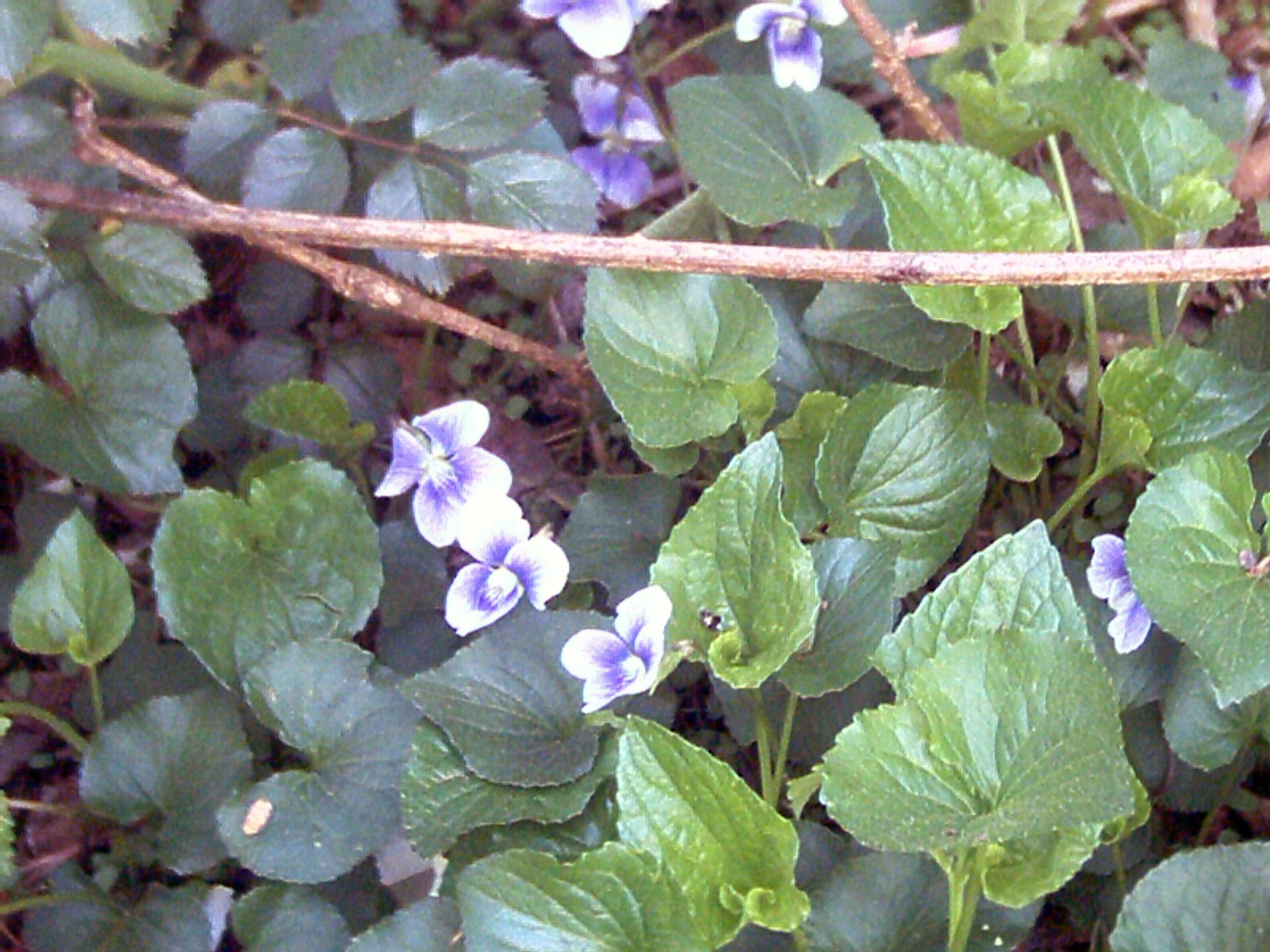 wild violets in bloom